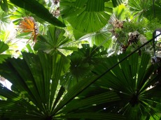 58-giant-fan-palms