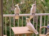 hungry cockatoos